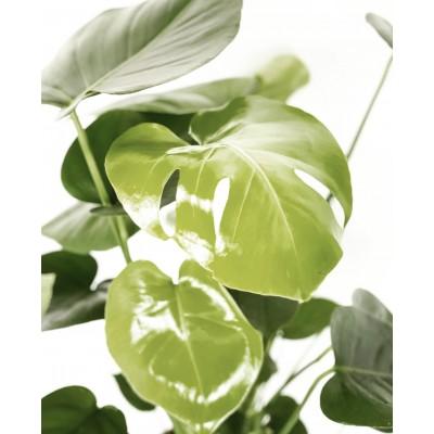 Monstera - sobna rastlina